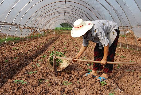 图为该县三板乡农民正在为大棚蔬菜补苗.(廖亚飞  摄)