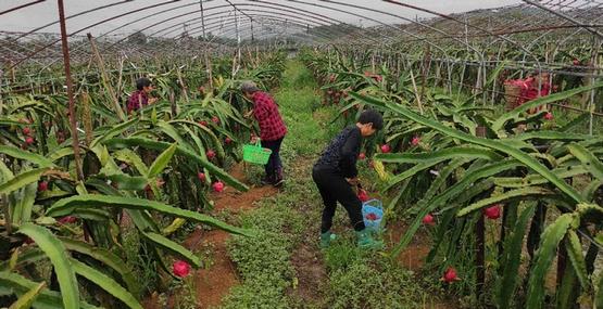 jbo竞博下载苹果版聚发农民专业合作社:红…